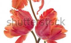 Stock-photo-studio-shot-of-orange-colored-tulip-flowers-isolated-on-white-background-large-depth-of-field-dof-117223666