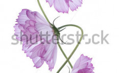 Stock-photo-studio-shot-of-purple-colored-cosmos-flowers-isolated-on-white-background-large-depth-of-field-95103754
