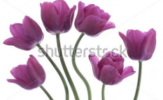Stock-photo-studio-shot-of-purple-colored-tulip-flowers-isolated-on-white-background-large-depth-of-field-dof-114985597