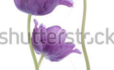 Stock-photo-studio-shot-of-purple-colored-tulip-flowers-isolated-on-white-background-large-depth-of-field-dof-117217741