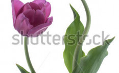 Stock-photo-studio-shot-of-purple-colored-tulip-flowers-isolated-on-white-background-large-depth-of-field-dof-120378697