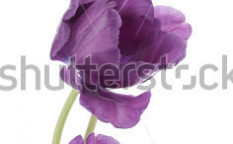 Stock-photo-studio-shot-of-purple-colored-tulip-flowers-isolated-on-white-background-large-depth-of-field-dof-123655663