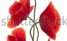 Stock-photo-studio-shot-of-red-colored-poppy-flowers-isolated-on-white-background-large-depth-of-field-dof-117111490