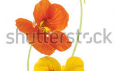Stock-photo-studio-shot-of-yellow-and-orange-colored-nasturtiums-isolated-on-white-background-large-depth-of-84235201