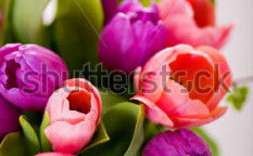 Stock-photo-the-bunch-of-tulips-on-the-white-surface-28491799