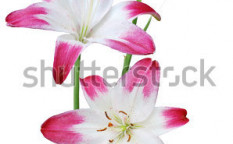 Stock-photo-the-fresh-lily-blooming-bouquet-92814769