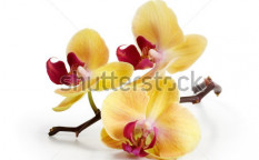 Stock-photo-three-gold-orchid-flowers-with-stem-on-white-background-126789440