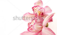 Stock-photo-two-pink-orchids-on-white-75030364