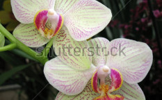 Stock-photo-white-orchid-flower-closeup-70571539