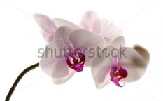 Stock-photo-white-orchid-on-white-62127031