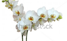 Stock-photo-white-orchid-with-bud-isolated-103714385