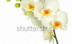 Stock-photo-white-orchid-with-bud-isolated-99212381