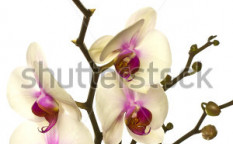 Stock-photo-white-orchid-with-buds-isolated-on-a-white-background-94871776