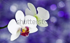 Stock-photo-white-orchids-on-violet-background-66553702