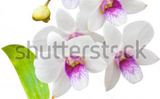 Stock-photo-white-thai-orchids-flowers-this-image-contain-clipping-path-91861028