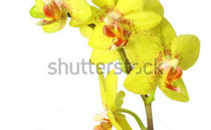 Stock-photo-yellow-orchid-on-white-46929844