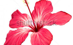 Stock-vector-hibiscus-flower-blossom-vector-art-92952784